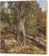 Water Cypress Wood Print
