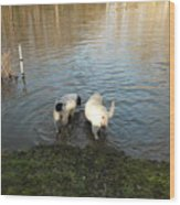 Water Dogs Wood Print