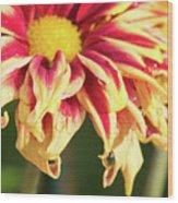 Water Drop On A Chrysanthemum Wood Print