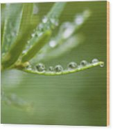 Water Droplets On Evergreen Wood Print