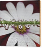 Water Drops And Daisy Wood Print by Dr T J Martin