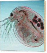 Water Flea Daphnia Magna Wood Print