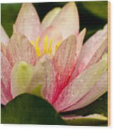 Water Lilly At Eye Level Wood Print