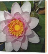 Water Lilly Beauty Wood Print