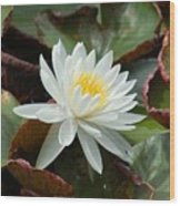 Water Lilly Closeup Wood Print