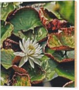 Water Lilly With Brown Pads Wood Print