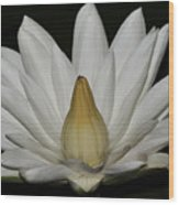 Water Lily 23 Wood Print