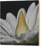 water lily 25 White Night Blooming Water Lily I Wood Print