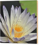 water lily 48 Green Smoke Wood Print