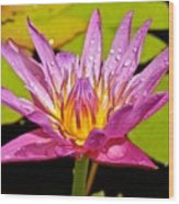Water Lily After Rain Wood Print