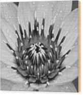 Water Lily B/w Wood Print