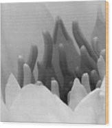 Water Lily - Burnin' Love 11 - Bw - Water Paper Wood Print