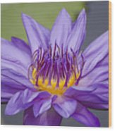 Water Lily Director George T Moore Wood Print