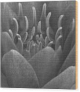 Water Lily Flame Bw Wood Print