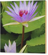 Water Lily In A Tropical Garden_4657 Wood Print