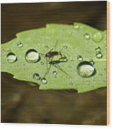 Water Strider Has A Drink At The Floating Leaf Cafe Wood Print