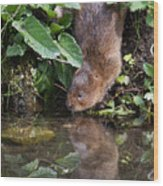 Water Vole Wood Print