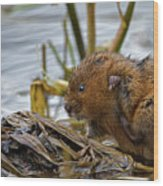 Water Vole Cleaning Wood Print