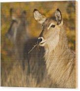 Waterbuck Mirror Wood Print