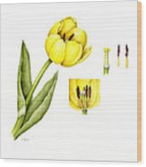 Watercolor Flower Yellow Tulip Wood Print