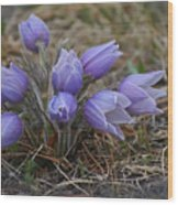 Watercolor Pasque Flowers Wood Print