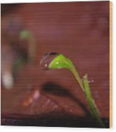 Waterdrop On A Litte Green Sprout  Wood Print