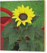 Watering With Sunflower Wood Print