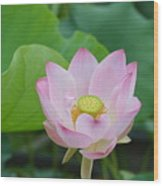 Waterlily Blossom With Seed Pod Wood Print