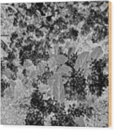 Waxleaf Privet Blooms On A Sunny Day In Black And White - Color Invert Wood Print