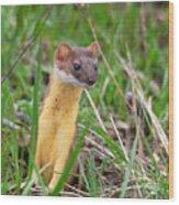 Weasel Wood Print