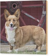 Welsh Pembroke Corgi Dog Outdoors Wood Print