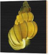 Wentletrap Seashell Wood Print