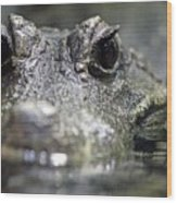 West African Dwarf Crocodile - Captive 03 Wood Print