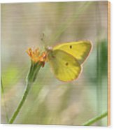 Wester Sulfur Butterfly Wood Print