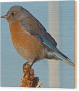 Western Bluebird Wood Print