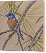 Western Bluebird Male In A Pine Tree.  Wood Print