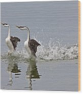 Western Grebe On Lake Wood Print