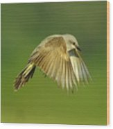 Western Kingbird Hovering Wood Print