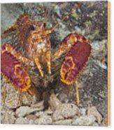 Western Lobster Wood Print