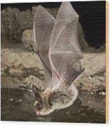 Western Long-eared Myotis Drinking Wood Print