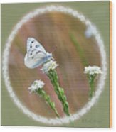 Western White Butterfly Wood Print