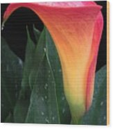 Wet Calla Lily 1 Wood Print