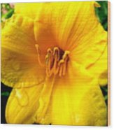 Wet Daylily Wood Print