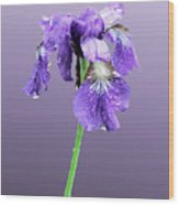 Wet Russian Iris Wood Print