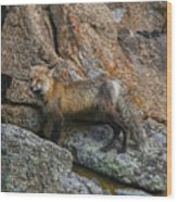 Wet Vixen On The Rocks Wood Print