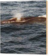 Whale Watching Balenottera Comune 7 Wood Print