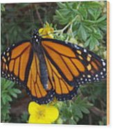 When The Rain Clears Monarch Butterfly Wood Print