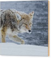Where The Coyote Walks Wood Print