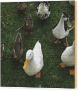 White And Brown Ducks Wood Print