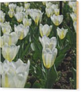 White And Pale Yellow Tulips In A Bulb Garden Wood Print